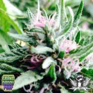 GrandDaddy Purple Seeds Bay Thunderboldt